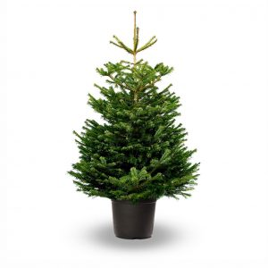 jadecliff-shadow-nordmann-fir-pot