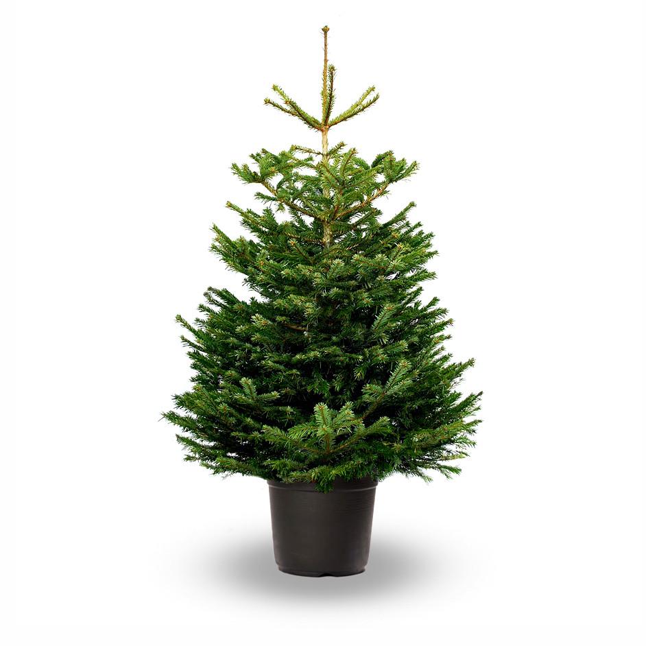pot grown nordmann fir abies nordmanniana jadecliff. Black Bedroom Furniture Sets. Home Design Ideas