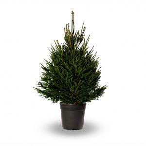 jadecliff-shadow-norway-spruce-pot